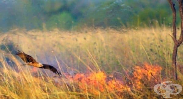 Някои птици допринасят за разпространението на горски пожари. Соколите например пренасят тлеещи клечки до места със суха трева, за да примамят плячката, живееща в дупките.
