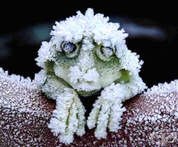 През зимата горските жаби в Аляска замръзват за 6-7 месеца. Тялото им се покрива с лед, дробовете и сърцето спират да работят. Те издържат благодарение на вещества в организма, които понижават температурата на кръвта и биологични течности в организма.