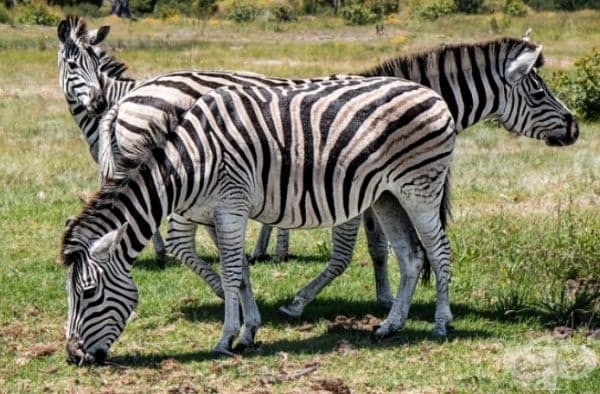 Учените са открили, че черно-белият цвят на зебрите е ефективно средство срещу конските мухи. Вълнообразната окраска успешно отблъсква насекомите.