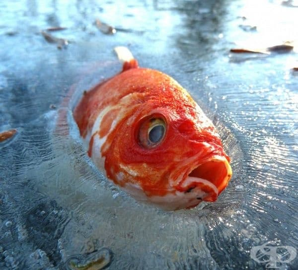 При застудяване организмът на златните рибки се насища с етилов спирт, произвеждащ се с помощта на специални протеини, които превръщат млечната киселина в алкохол. Той не позволява да се нарушат клетките, дори когато рибката е замръзнала.