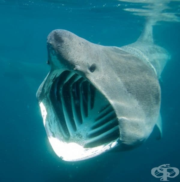 Тази гигантска акула е втората по големина риба след китовите акули. Изглежда в състояние да погълне огромна риба, дори човек, но всъщност не представлява заплаха за хората. Както китовите акули, и тези се хранят с планктони.