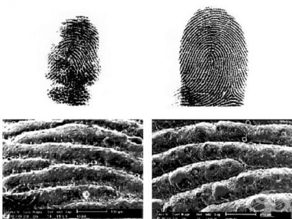 Австралийски учени са установили, че пръстовите отпечатъци на коала и човека са практически идентични. Приликата е била изключително колосална, че и самите изследователи са се затруднили с идентифицирането дори и под микроскоп.