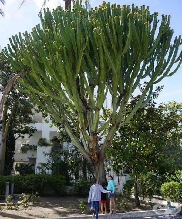 Този кактус има размерите на дърво.