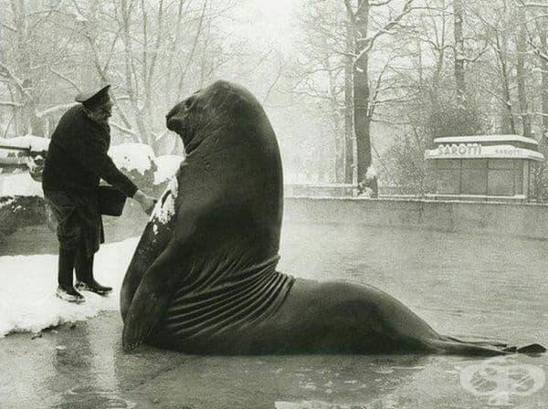 Роланд е огромен тюлен, който получава снежна баня в Берлинската зоологическа градина, около 1930 г.