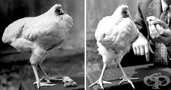 Майк е безглавото пиле, което е живяло 18 месеца след обезглавяване през 1945 г. Хранено е със спринцовка и е починало, поради погрешно поставяне на спринцовката в хранопровода.