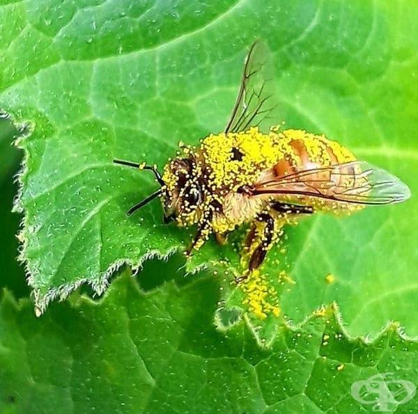 Поленът на пчелата.