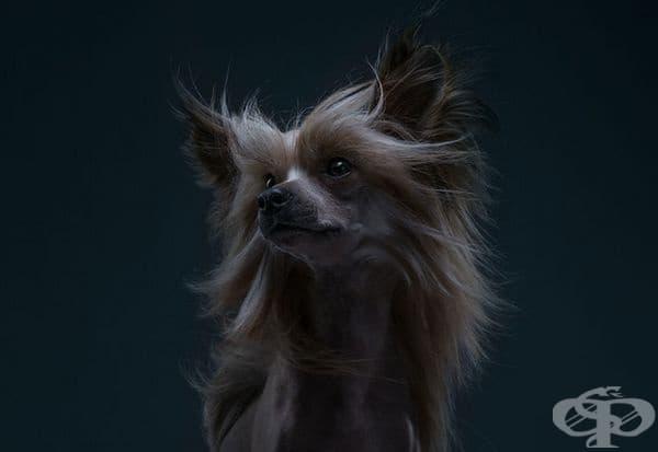 Елисей, китайското качулато куче.