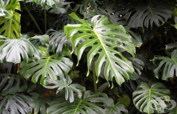 Филодендрон. Отровни са листата и сокът на растението. Съдържа калциев оксалат, който предизвиква възпаление и сърбеж по кожата при докосване и парене и подуване на устната кухина и езика при поглъщане.