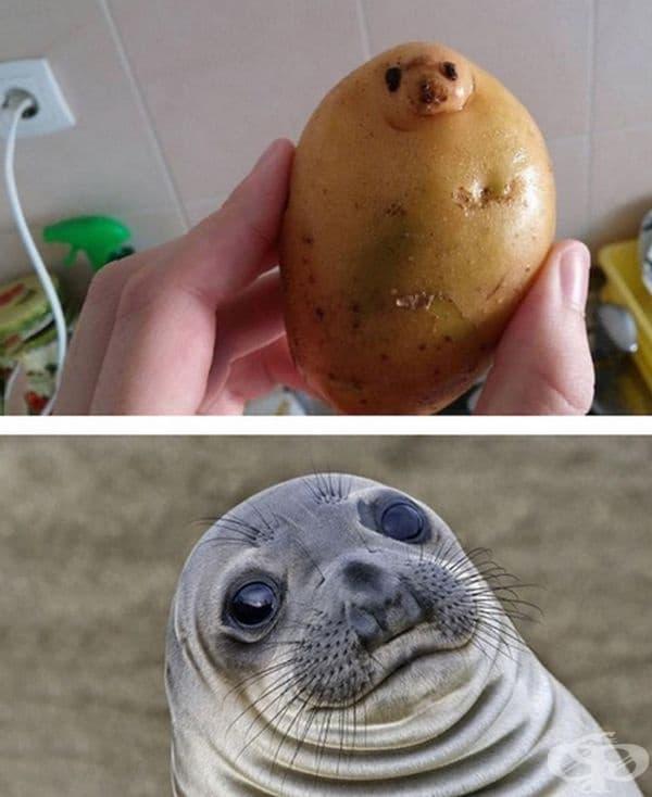 Картоф и тюлен.