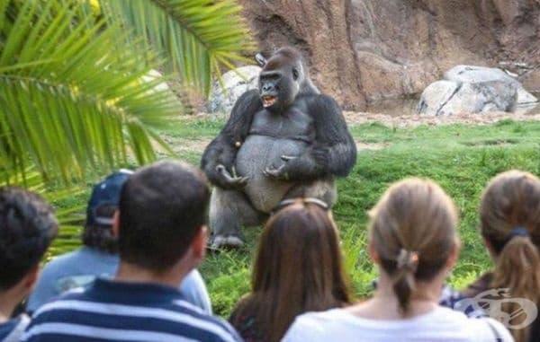 Тази горила изглежда така, сякаш представя лекция по философия на чист въздух.