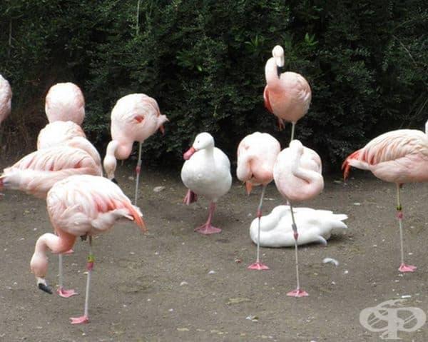 Тази патица си мисли, че е фламинго.