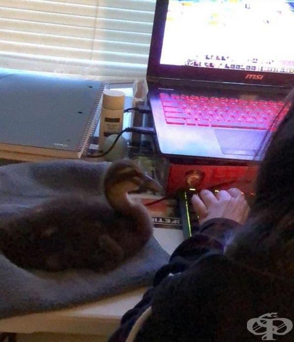 """""""Подарих на приятелката си патица и сега тя наблюдава сериозно как протичат интернет игрите."""""""