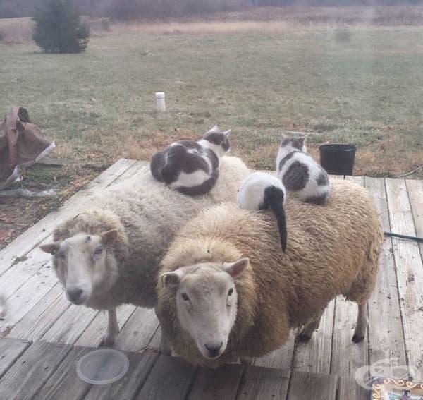 Котките се чувстват много удобно върху овцете.