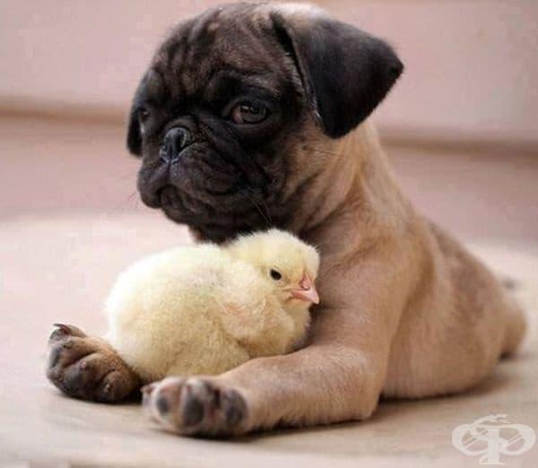 Най-добри приятели: мопс и пиле