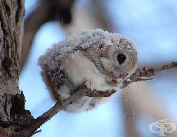 Просто сибирска летяща катерица, покрита с малко сняг, която може да разтопи всяко сърце