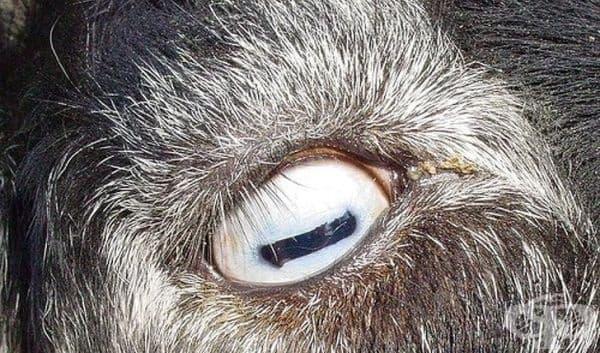 Козите имат правоъгълни зеници.