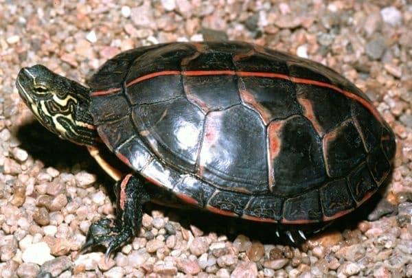 Някои костенурки могат да дишат със своите задни части.