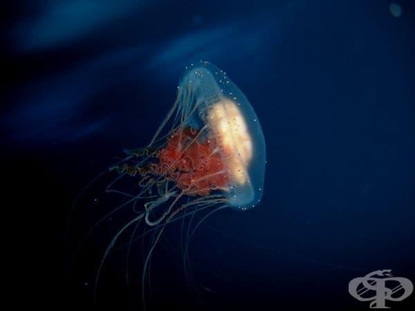 Turritopsis dohrnii е вид медуза, която е безсмъртна.
