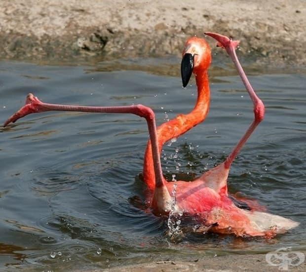 Това е фламинго - една от най-грациозните птици на Земята.