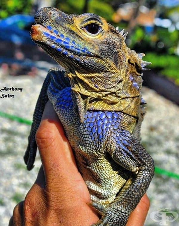 Дракон Sailfin. Среща се много рядко в тропическите райони на източна Индонезия, Нова Гвинея и Филипините.