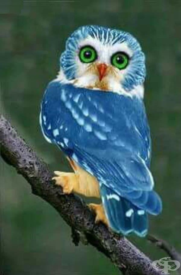 Рядката синя сова, чийто цвят на перата е толкова хипнотизиращ като цвета на очите.