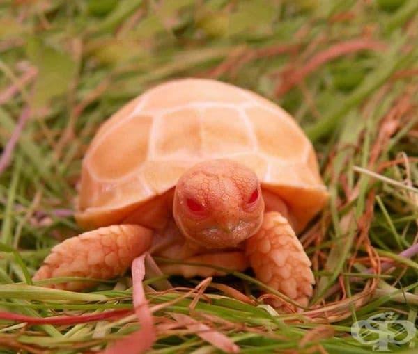 Рядката костенурка Албино Сулката изглежда толкова дяволска, че ще се уплашите, независимо от малкия й размер.