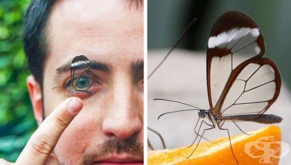 Стъклената пеперуда доказва, че красотата е в очите на наблюдателя.