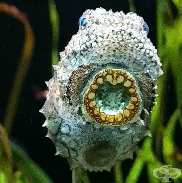 Бодливата тихоокеанска риба (Lumpsucker) притежава специален кръг на тялото си, с който се прикрепя към различни повърхности.