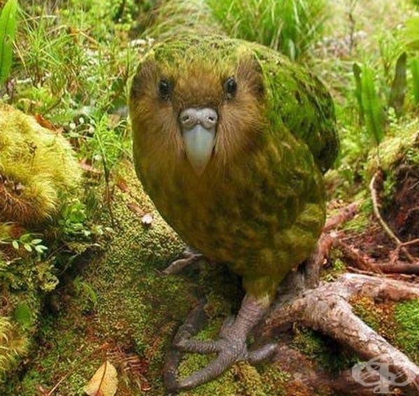Какапо. Това е голяма, нощна папагалова птица от Нова Зеландия.