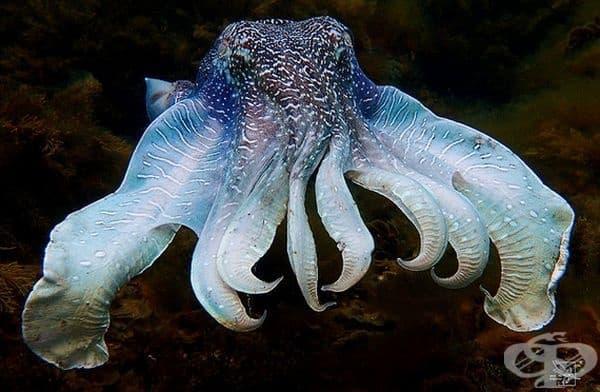 Вид сепия (The Strobing Cuttlefish), която изглежда доста мило.