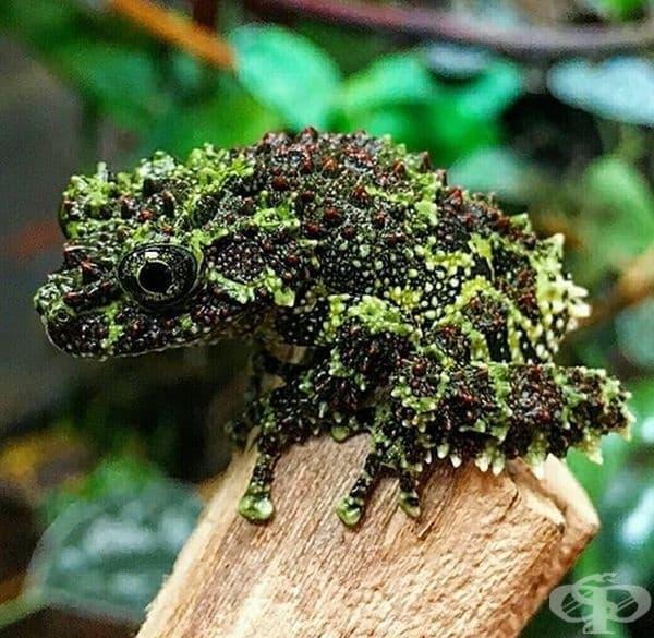 The Vietnamese Mossy Frog е виетнамска жаба, която има доста грозноват вид.