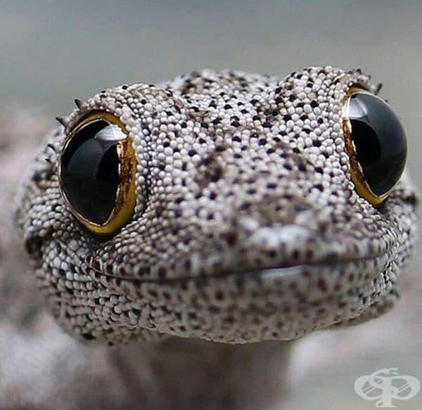 The Southwestern Spiny-Tailed Gecko е вид гекон в рода Струфур. Този поглед е наистина хипнотизиращ.