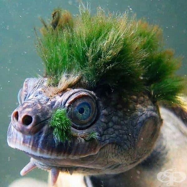 The Mary River Turtle е застрашена късоглава костенурка с коса, която е ендемична за река Мери в югоизточната част на Куинсланд, Австралия.