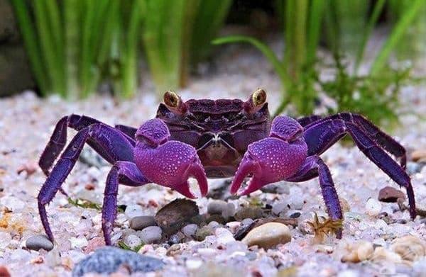 Пурпурният кръвопиещ рак изглежда като митично създание.