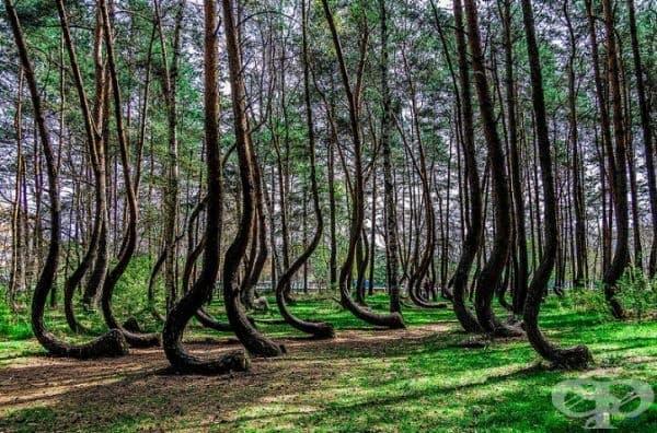 Кривата гора, Полша.