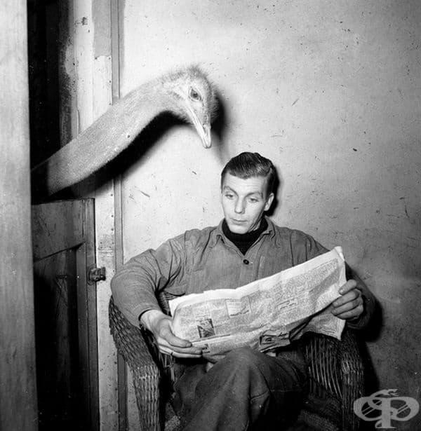 Любопитен щраус, 1951 г.