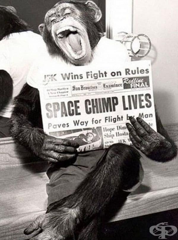 Щастливото шимпанзе Енос държи вестник, след като се е завърнал успешно от космоса през 1961 г.
