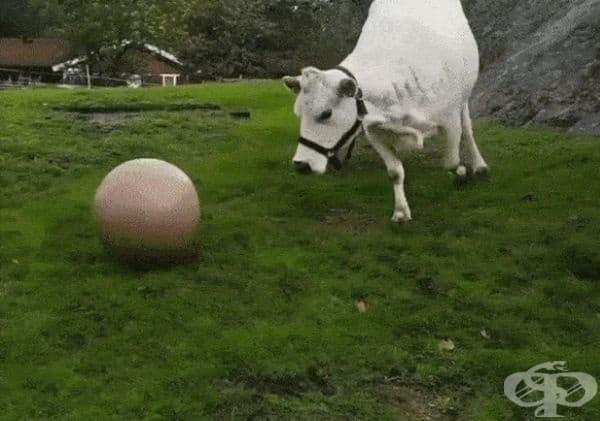 Крава, която обича да играе футбол.