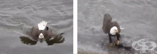 Вярвайте или не, но американският плешив орел може да плува.