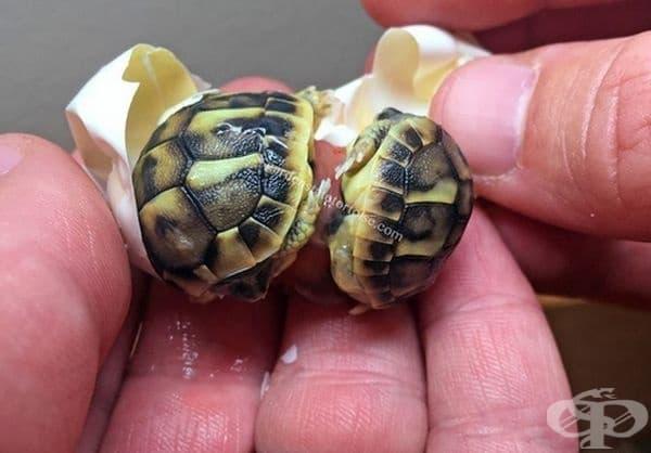 Костенурките могат да бъдат и две в едно яйце.