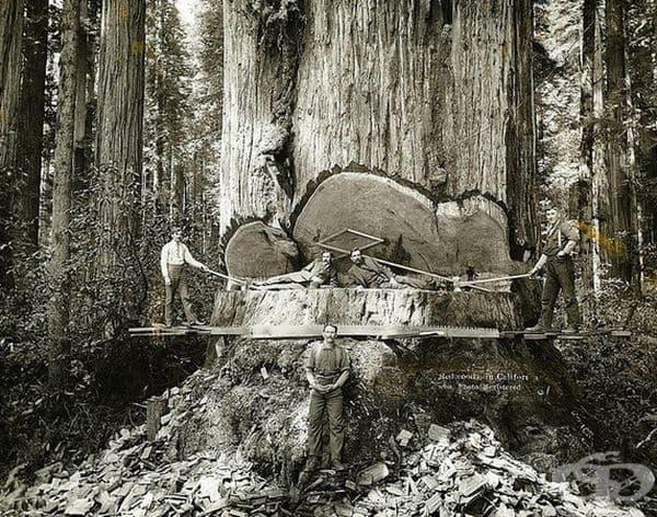 Отсичане на гигантско дърво в Калифорния през 1915 г.