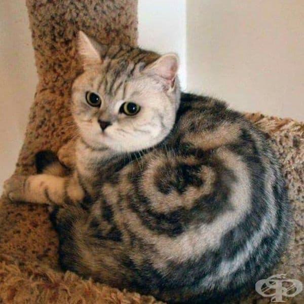 Окраската на котето изглежда като спирала.