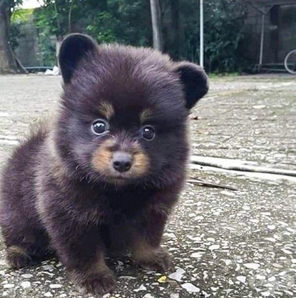 Малко кученце, което изглежда като мече.