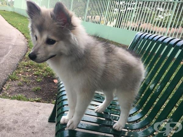 Моето кученце прилича на вълк.