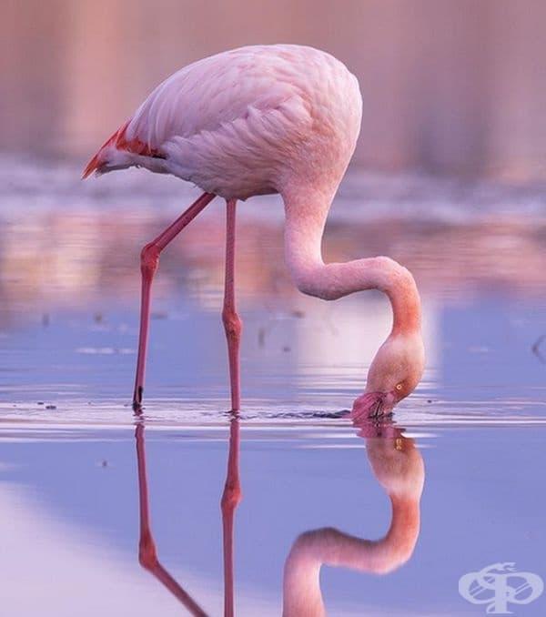 Фламингото е с розов цвят, заради това, с което се храни. Те се раждат със сиви пера и след това постепенно стават розови, заради специалния пигмент, който получават при хранене със скариди, ларви и синьо-зелени водорасли.