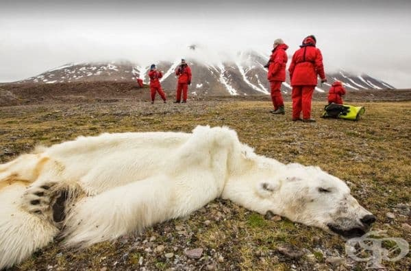 Тази полярна мечка е умряла от глад.