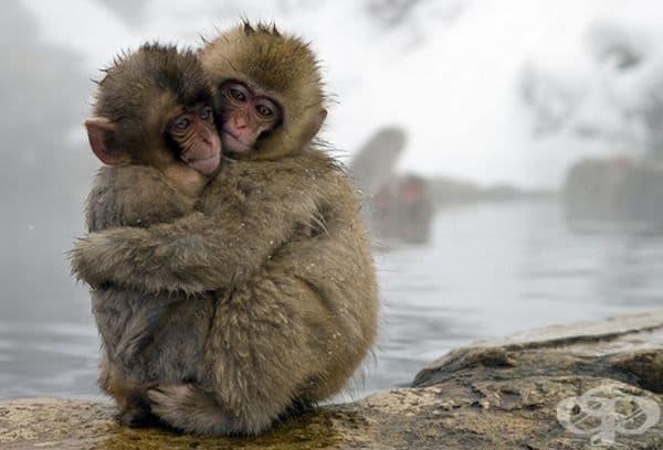 Японски маймуни се прегръщат, поради студеното време.