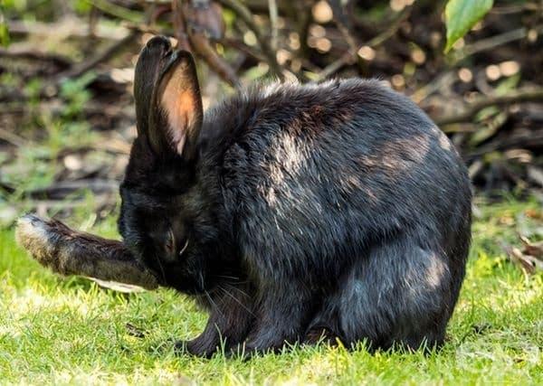Зайците се почистват, като ближат лапите си точно като котките.