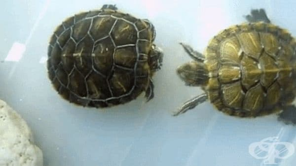 За да привлекат женски червенобузи костенурки, мъжките нежно масажират лицата им.