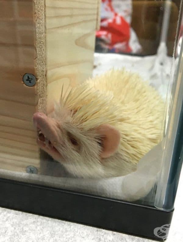 Таралежът не е ядосан, той просто така си спи.
